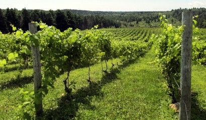 Agriculture - Vineyard